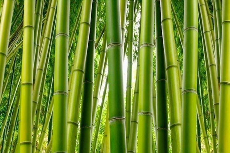 la coltivazione del bamb� in  terra