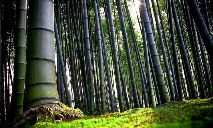viale di bambù
