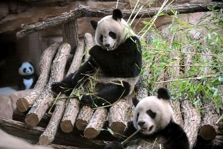 panda gigante e bambù
