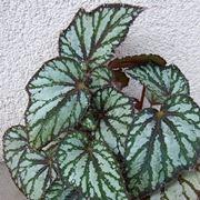 Le foglie della begonia corallina