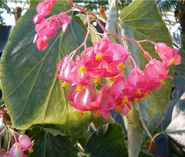 Begonia corallina piante appartamento begonia for Begonia pianta