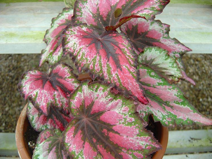 Begonia gigante in vaso