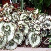 Ibrido di Begonia rex Escargot