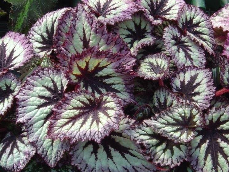 Fogliame di Begonia Rex