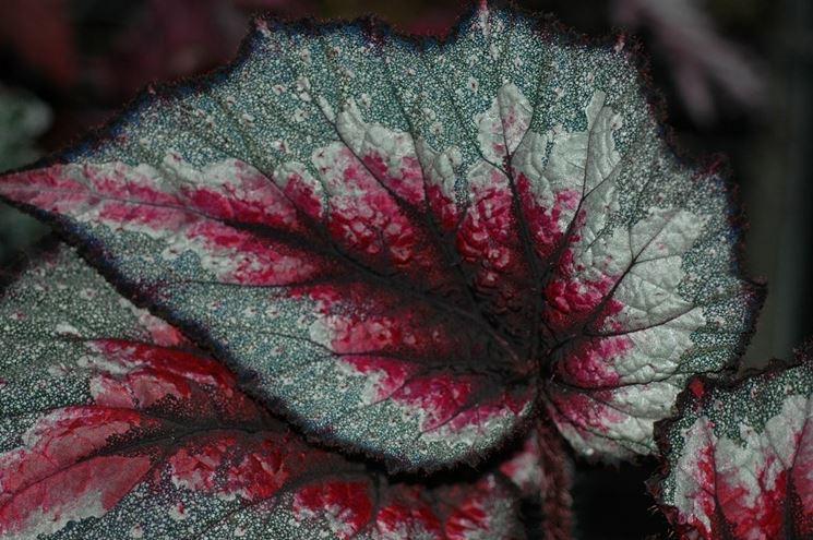 Foglia variegata di Begonia rex