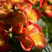 Begonia fiori