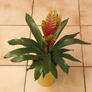 Un esemplare di bromelia coltivata in vaso