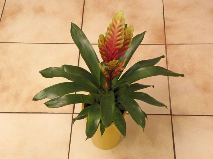 Un esemplare di <strong>bromelia</strong> coltivata in vaso