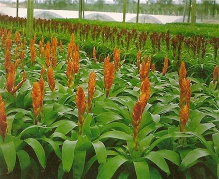Esemplari di bromelia coltivati in serra