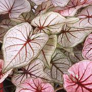 Caladio foglie colorate