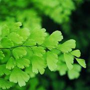 Foglie di piante Capelvenere
