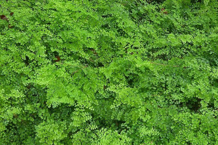 Fogliame di piante Capelvenere