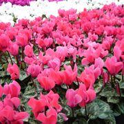 Delle piante di ciclamino rosa