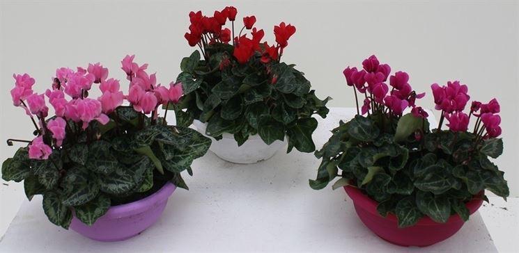 Piante di ciclamino coltivate in vaso