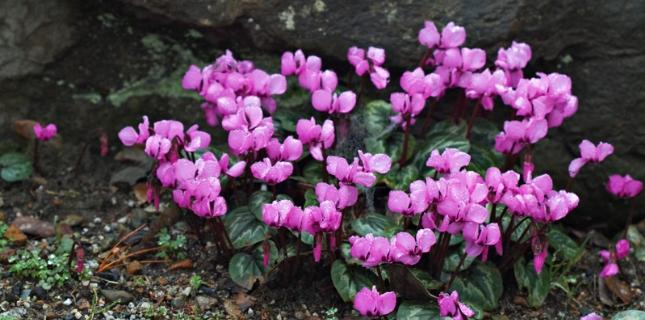 <h6>Ciclamino</h6>In questa pagina, notizie, informazioni e suggerimenti sulla coltivazione della pi� bella pianta dell'inverno: il ciclamino.