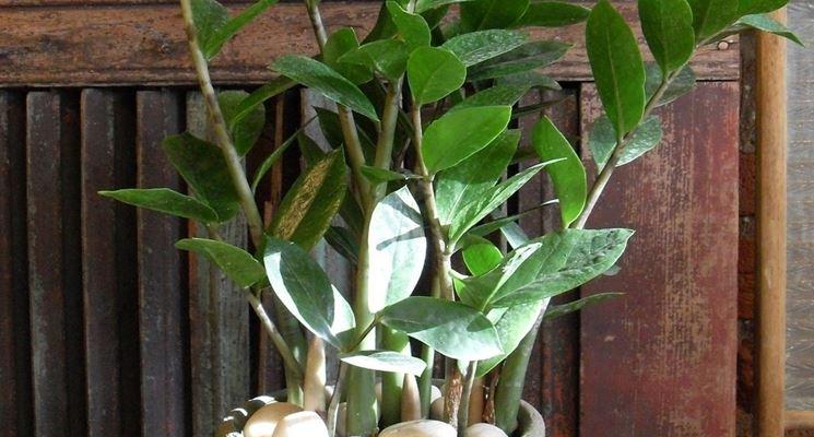 Giovane Zamioculcas zamilifolia