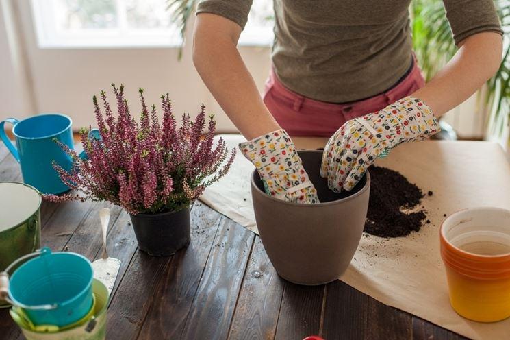 Rinvasare piante appartamento