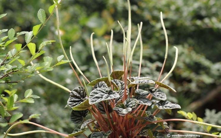 Peperomia fiore