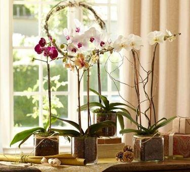 posizione corretta dell'orchidea