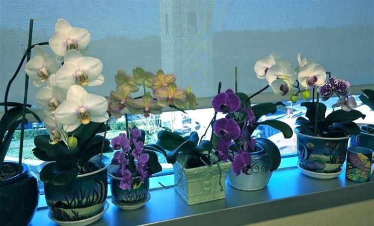 alcune orchidee fiorite