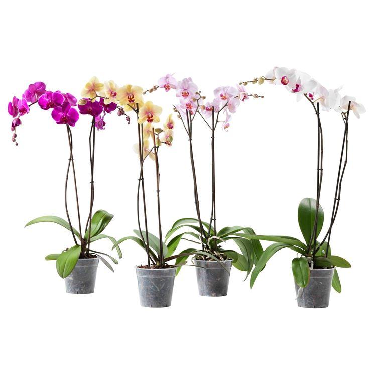 Bellissime orchidee di vari colori coltivate in vaso