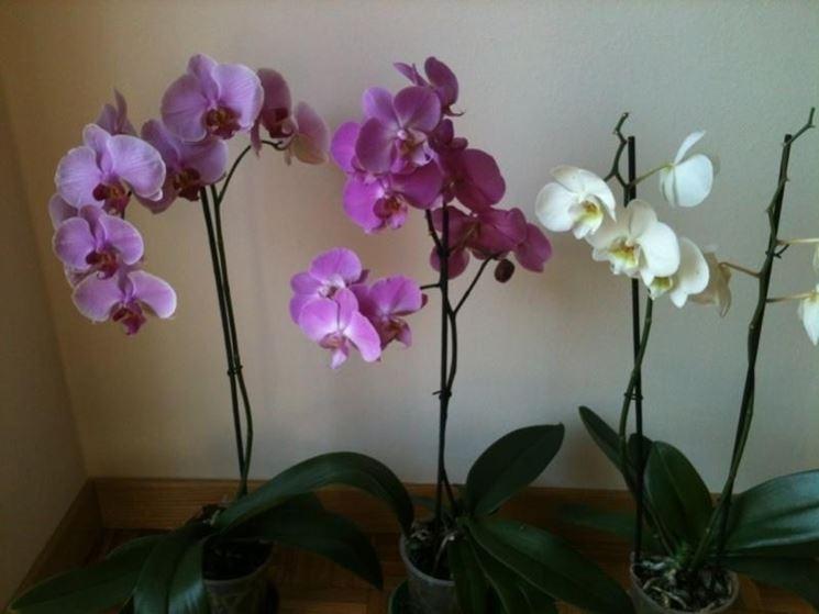 Esemplari di orchidee phalaenopsis coltivate in vaso dentro casa