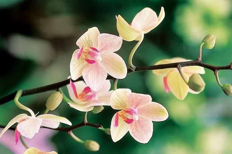 Fiori di un'orchidea cymbidium