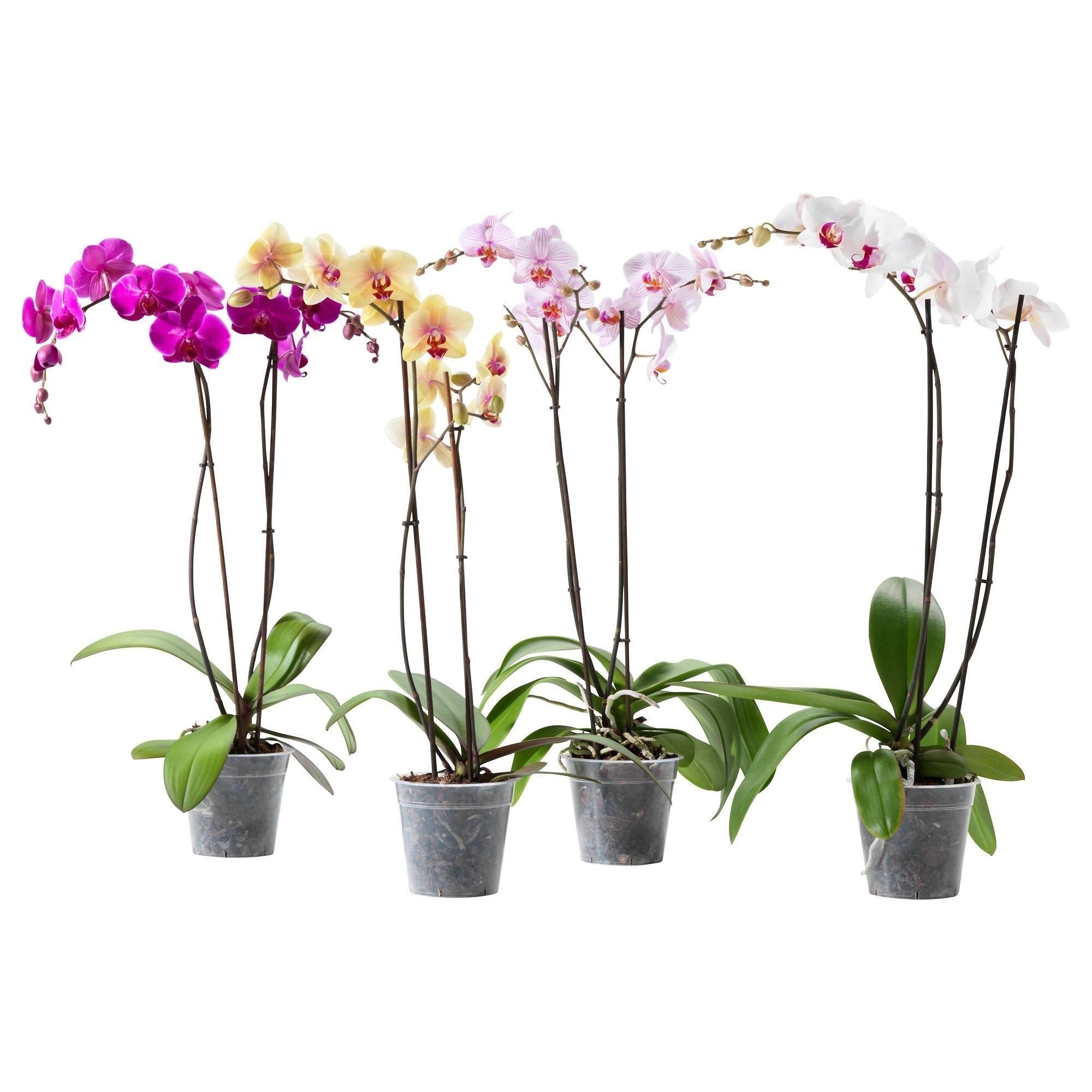 Come curare le orchidee piante appartamento curare le - Orchidee da appartamento ...