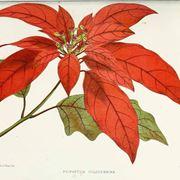 Illustrazione botanica delle brattee della stella di Natale