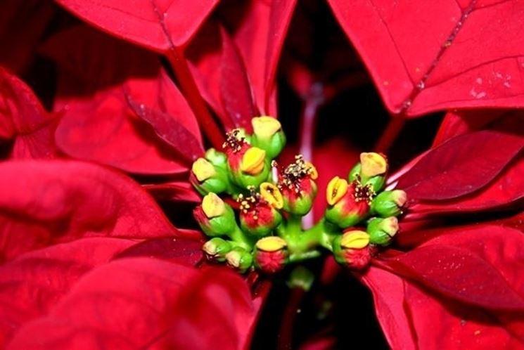 I fiori della stella di Natale, circondati dalle brattee rosse