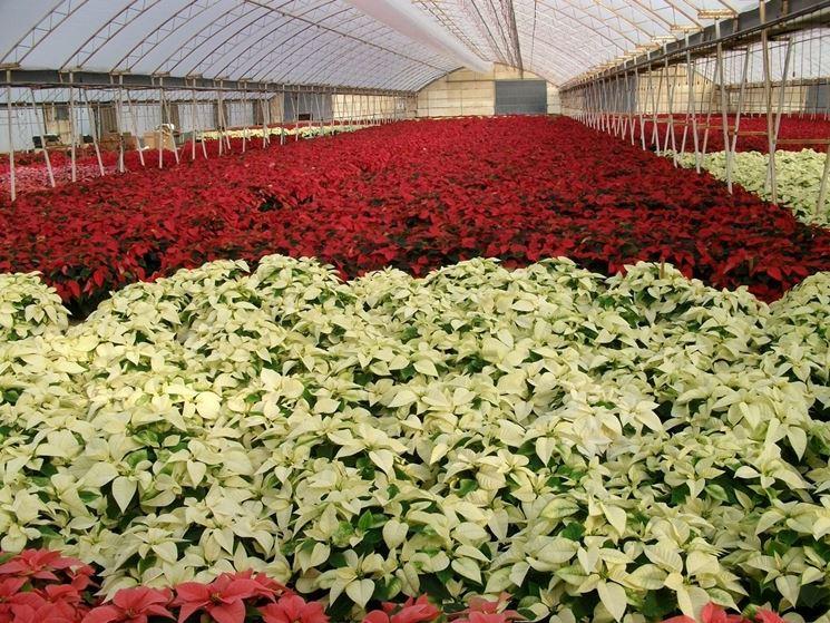 La splendida fioritura di stelle di Natale di diversi colori