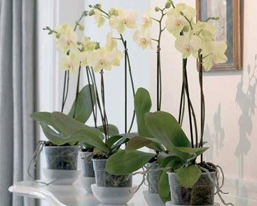 Piante di orchidee con appositi sottovasi contenenti acqua.