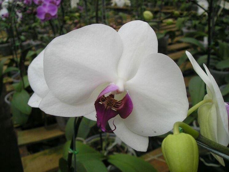 Fiore di orchidea Phalaenopsis bianca.