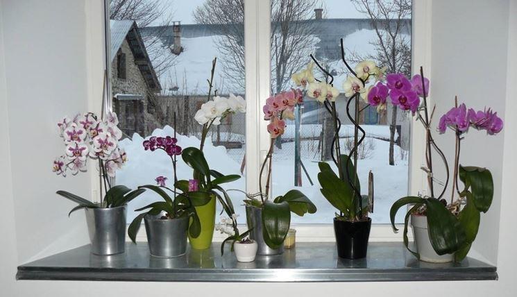 Orchidee esposte alla luce naturale del sole.