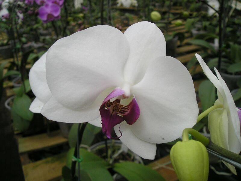 ... orchidea - Piante appartamento - Consigli per la cura delle orchidee