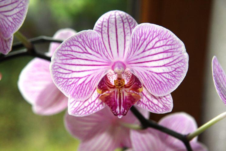 Fiore di orchidea Phalaenopsis