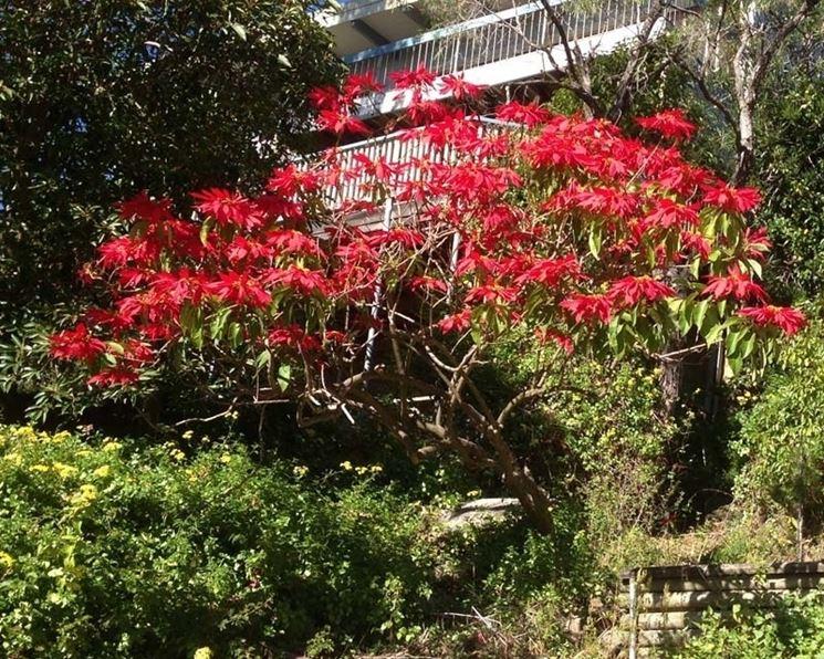 Arbusto di stella di Natale