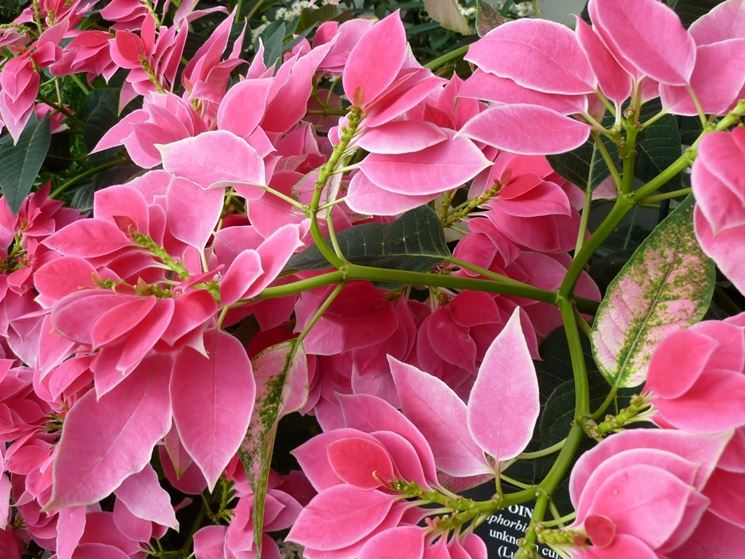 La bellissima variet� a brattee rosa