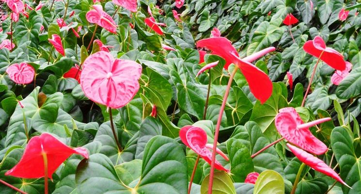 Anthurium in serra