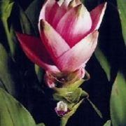 curcuma fiore
