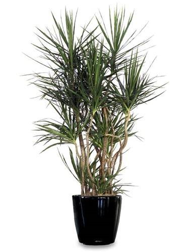 varietà dracaena
