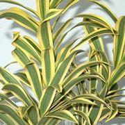 dracaena marginata