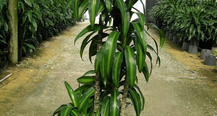 dracena pianta piante appartamento caratteristiche