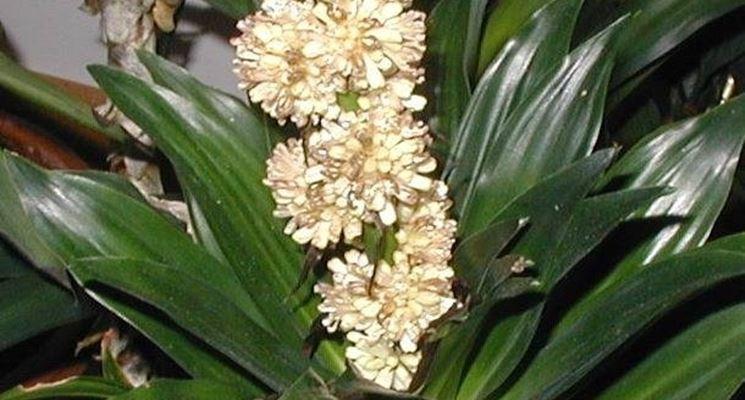 Particolare di fiori di dracena