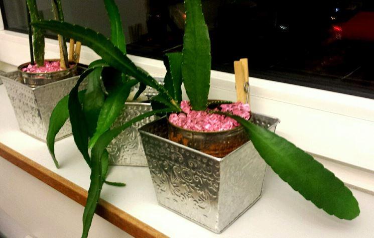 L'Epiphyllum nel suo habitat
