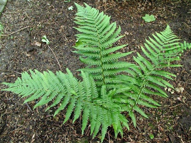 Felce pianta piante appartamento caratteristiche della - La felce pianta ...