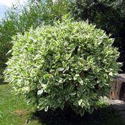 Un ficus beniamino lasciato crescere fino a diventare un albero