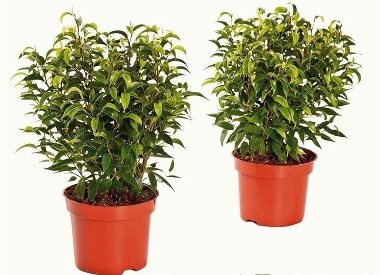 Due esemplari di ficus beniamino coltivato in vaso