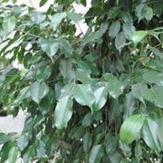 benjamin pianta