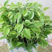 beniamino pianta
